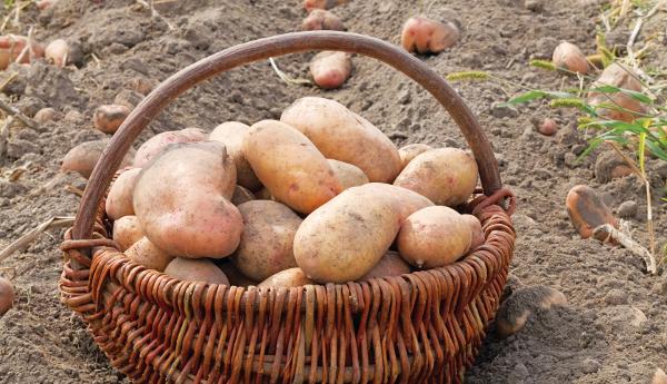 patata361